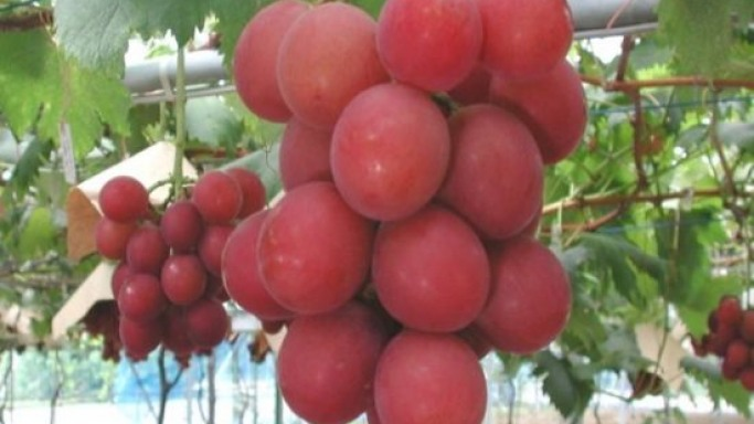 Most expensive fruit: $6,400 grapes